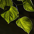 Leaves by Margie Hurwich