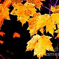 Leaves Of Maple by Tim Richards