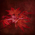 Leaves Of The Japanese Maple by Jai Johnson
