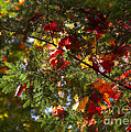 Leaves On Evergreen by Steven Ralser