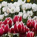 Leen Van Der Mark Tulips by David Quist