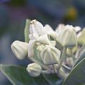 Lei Pua Kalaunu - Crown Flower - Calotropis Gigantea - Asclepiad by Sharon Mau