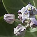 Lei Pua Kalaunu - Crown Flower - Calotropis Gigantea - Asclepiadaceae by Sharon Mau