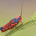 Leichhardts Grasshopper On Pityrodia by Ingo Arndt