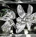 Lemon Blossoms by Ernestine Manowarda