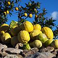 Lemon  by Focus  Fotos
