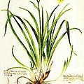 Lemon Daylily Botanical by Rose Santuci-Sofranko