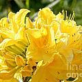 Lemon Drop Azalea by Susan Herber