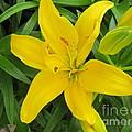 Lemon Lily by Nancy Craig
