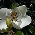 Lemon Magnolia by Caryl J Bohn