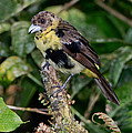 Lemon-rumped Tanager Molting by Anthony Mercieca