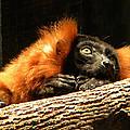 Lemur In Longing by Phillip W Strunk