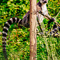 Lemur In The Green by Pati Photography