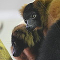 Lemur - National Zoo - 01131 by DC Photographer