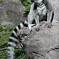 Lemur Pose by Christiane Schulze Art And Photography