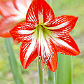Lensbaby 2 Orange Red And White Amaryllis Blooms by Sally Rockefeller