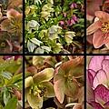 Lenten Rose Collage by Mel Hensley