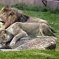 Leo And Una - Twin Male And Female Lions At The University Of North Alabama by Carol M Highsmith