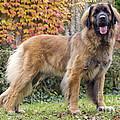 Leonberger Dog by Jean-Michel Labat