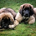 Leonberger Puppies by Gun Legler