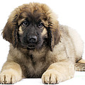 Leonberger Puppy by Jean-Michel Labat