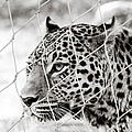 Leopard Black And White Photography by Georgina Noronha