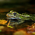 Leopard Frog Floating On Autumn Leaves by Inspired Nature Photography Fine Art Photography