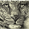 Leopard by Heidi Kriel