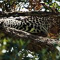 Leopard In A Tree by Aidan Moran