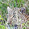 Leopard In The Grass by Evan Peller