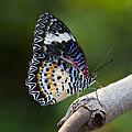 Leopard Lacewing Butterfly by Brandon Alms