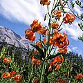 Leopard Lilies Below Lassen Peak by Kathleen Bishop