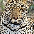Wild Leopard In Botswana by Liz Leyden