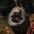 Leopard Moray by Sergey Lukashin