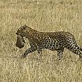 Leopard On The Move by Michele Burgess