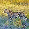 Leopard On The Prowl by Evan Peller
