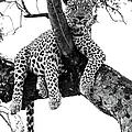 Leopard - Panthera Pardus. Leopard Will by Peter Van Der Byl