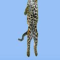 Leopard Panthera Pardus by Stephen Dalton