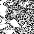 Leopard Portrait by Gigi Ebert
