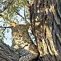 Leopard Portrait IIi by Gigi Ebert