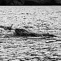 leopard seal killing a penguin in port lockroy Antarctica by Joe Fox
