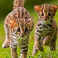 Leopard Stampede by Ashley Vincent