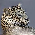 Leopard by TN Fairey
