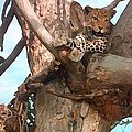 Leopard Up A Tree by George Pedro