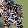 Jaguar Walking Portrait by William Bitman