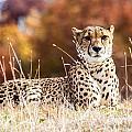 Leopard Watching by Terri Morris