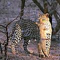Leopard With African Wild Cat Kill by Paul Fell