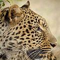 Leopard Zimbabwe by Michael Durham