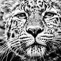 Leo's Portrait by Mark Hazelton