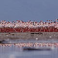 Lesser Flamingos In Mass Courtship Lake by Tim Fitzharris
